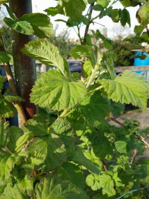 New Loganberry Leaves